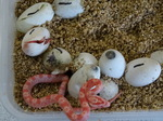 Corn Snakes hatching! Great excitement for the boys.